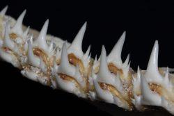 Grey Nurse Shark Teeth
