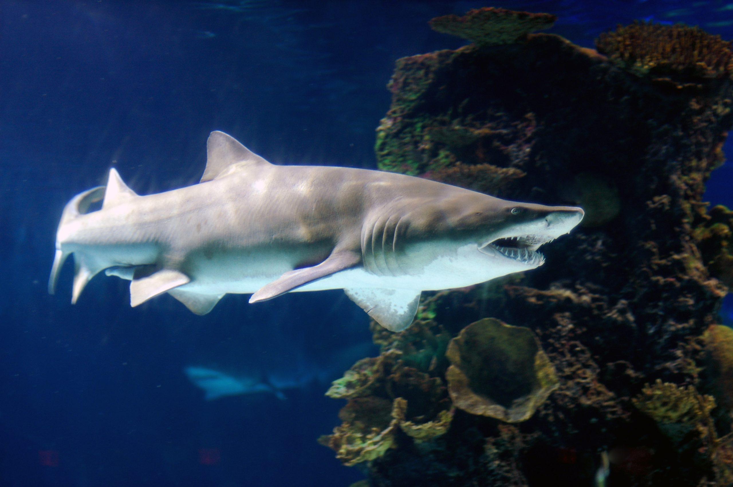 Grey Nurse Sharks – Let's Learn