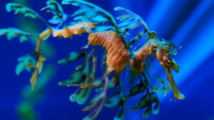 Leafy Sea Dragons – Let's Learn!