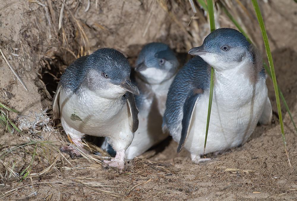 Australian Little Penguins – Let's Learn