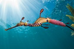 Male Weedy Sea Dragon with eggs