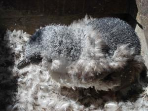 Little Penguin Moulting from Nature Glenelg Trust