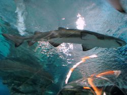 Sand Tiger Shark by Cliff