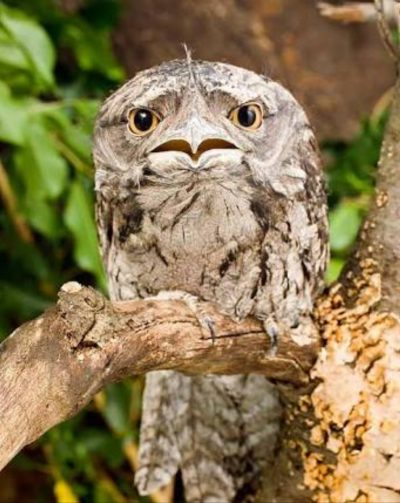 A wide-eyed, mottle-feathered tawny frogmouth.