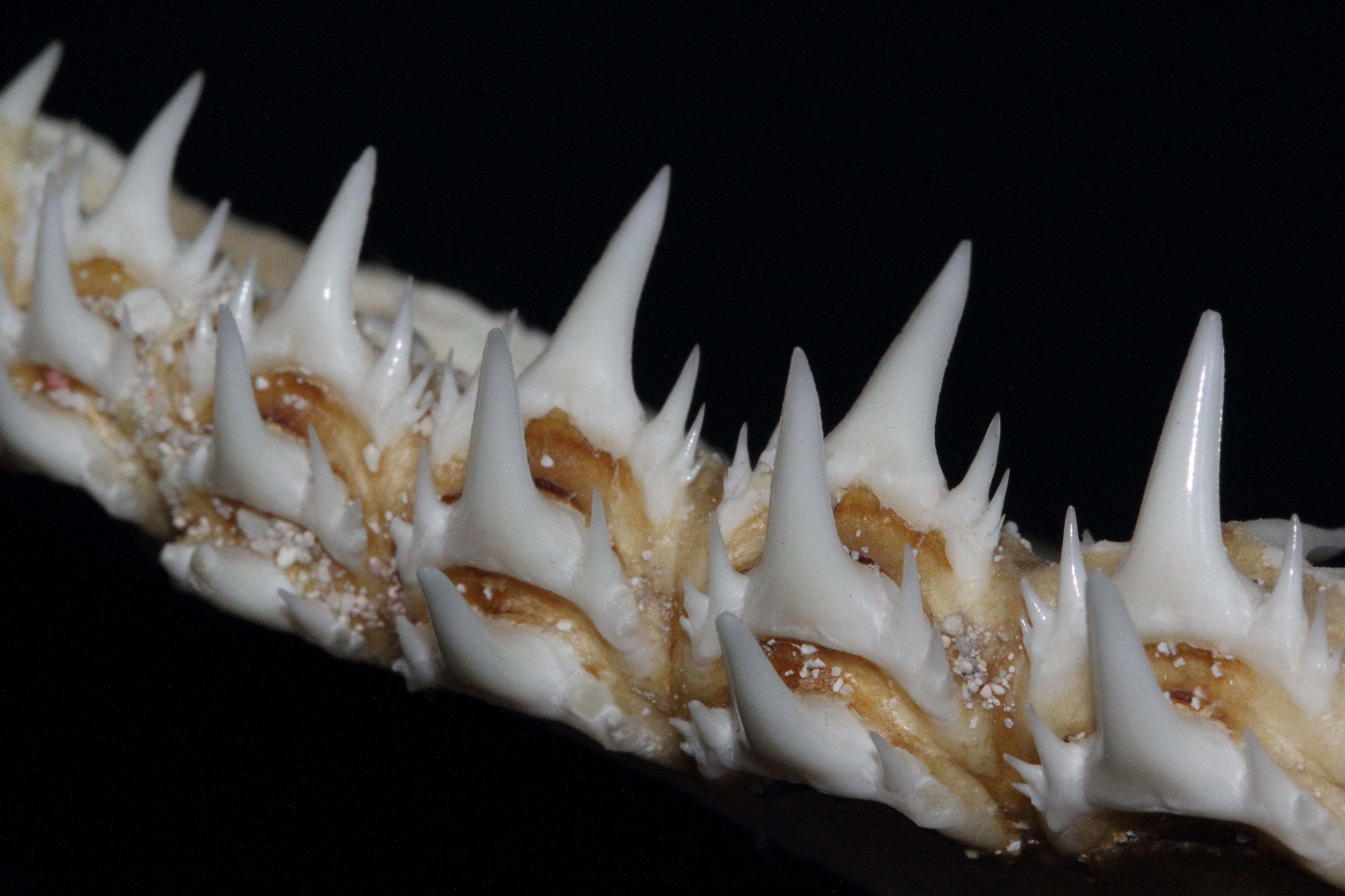 Nurse shark teeth - photo#14