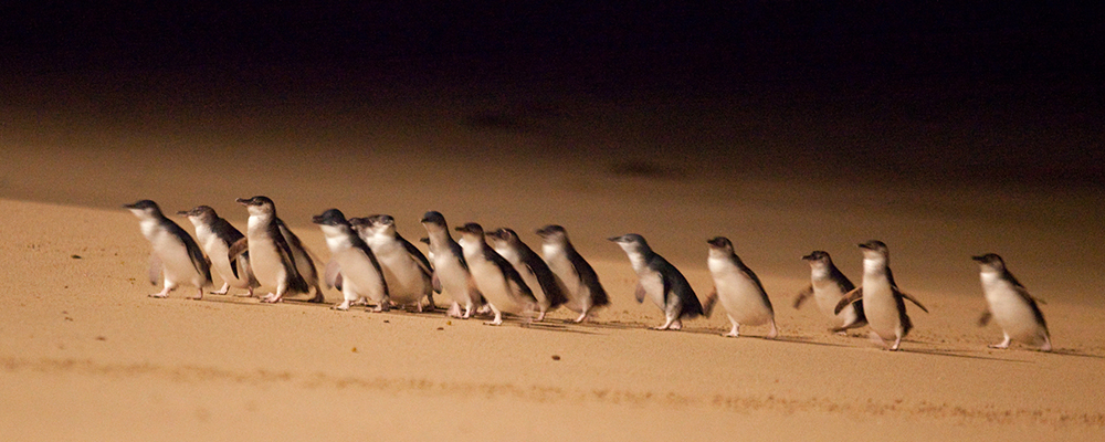 Penguin Parade by Phillipislandtourism - Own work, CC BY-SA 4.0