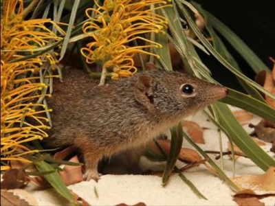 A dibbler, a furry, brown marsupial hiding beneath a golden wattle flower.